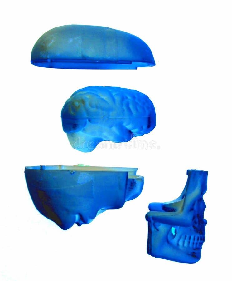 Cráneo separado stock de ilustración