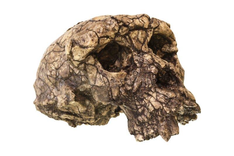 Cráneo Toumai del tchadensis de Sahelanthropus Descubierto en 2001 en el desierto de Djurab en República eo Tchad septentrional,  foto de archivo libre de regalías