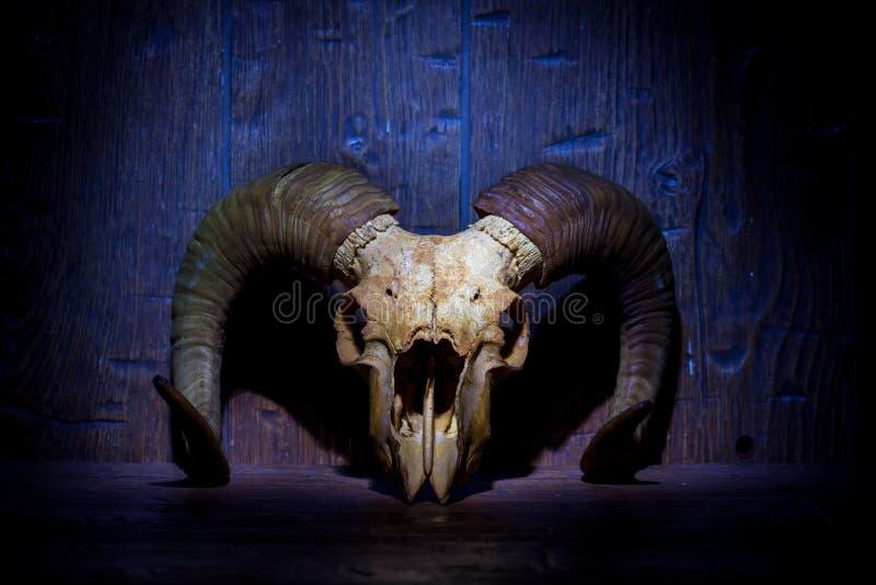 Cráneo viejo blanco del espolón en la pared de madera azul fotografía de archivo libre de regalías