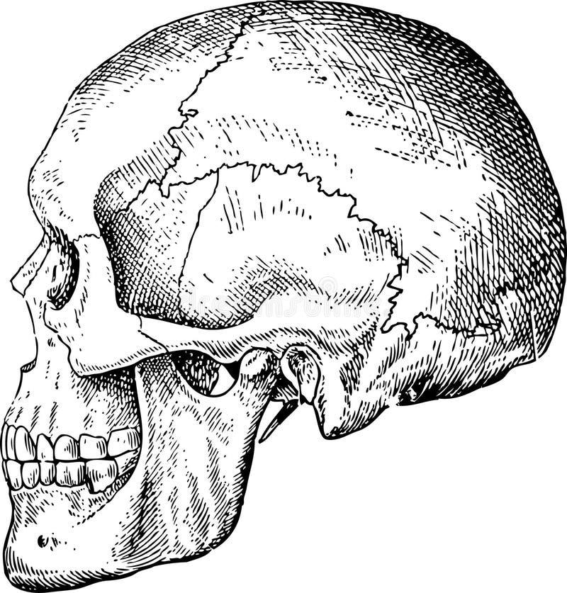 Cráneos del vector de Grunge ilustración del vector