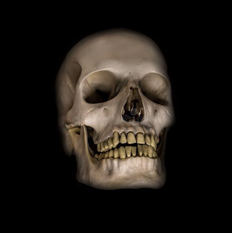 Cráneos humanos ilustración del vector
