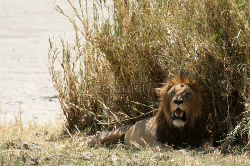 Cráter de Ngorongoro del león, Tanzania, África fotos de archivo libres de regalías