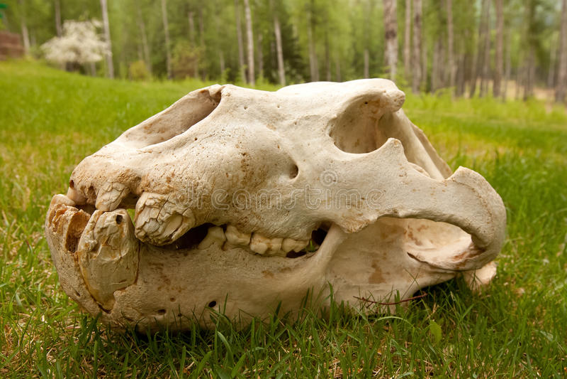 Crâne d'ours gris de record mondial photographie stock