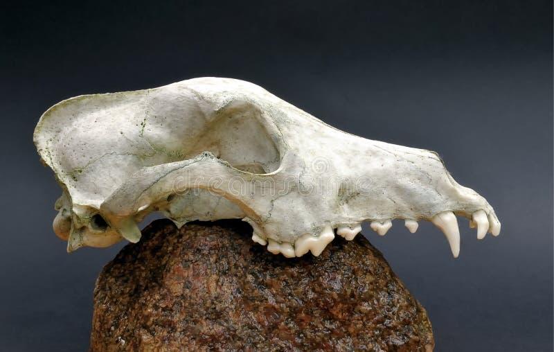 Crâne d un prédateur