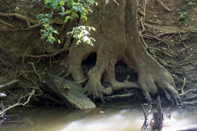 Crâne dans des racines d'arbre photo stock