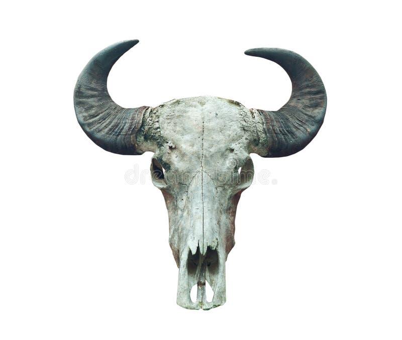 Crâne de Buffalo sur le blanc. image libre de droits
