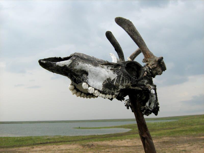 Crâne de cerfs communs dans la toundra image libre de droits