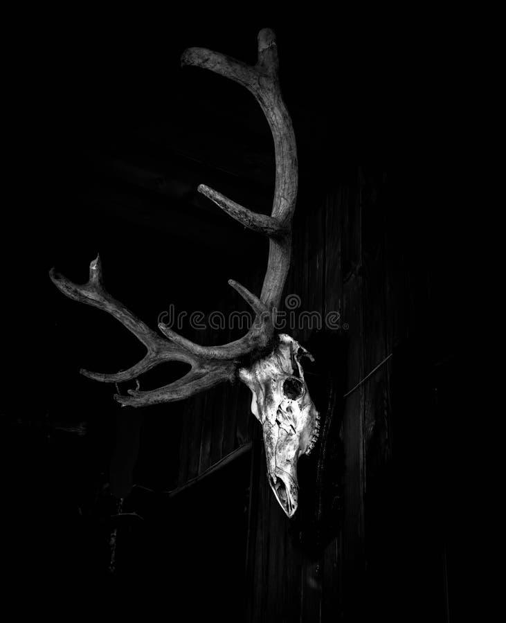 Crâne de cerfs communs sur le mur image libre de droits