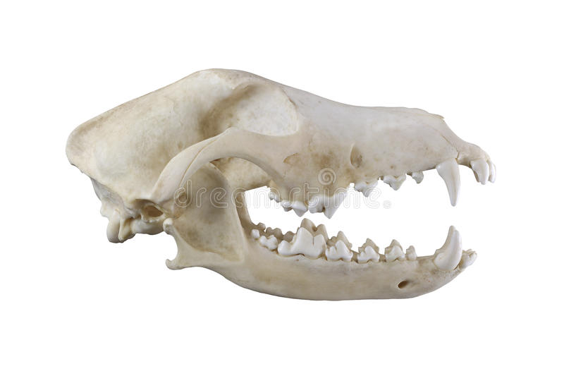 Crâne de chien d'isolement sur un fond blanc photographie stock