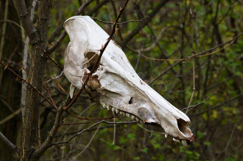 Crâne de loup comme marque de guide par la forêt photographie stock