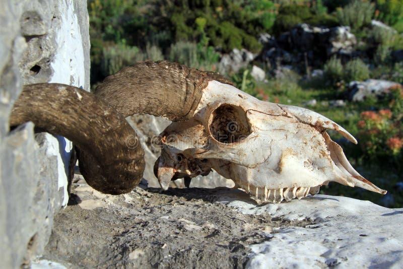 Crâne de Ram photographie stock