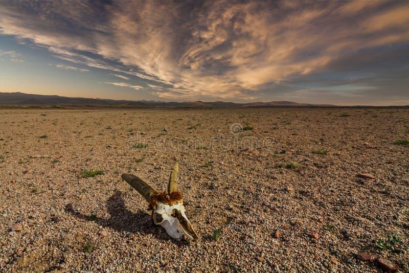 Crâne des cerfs communs d'oeufs de poisson sur la terre pierreuse dans le désert photo stock
