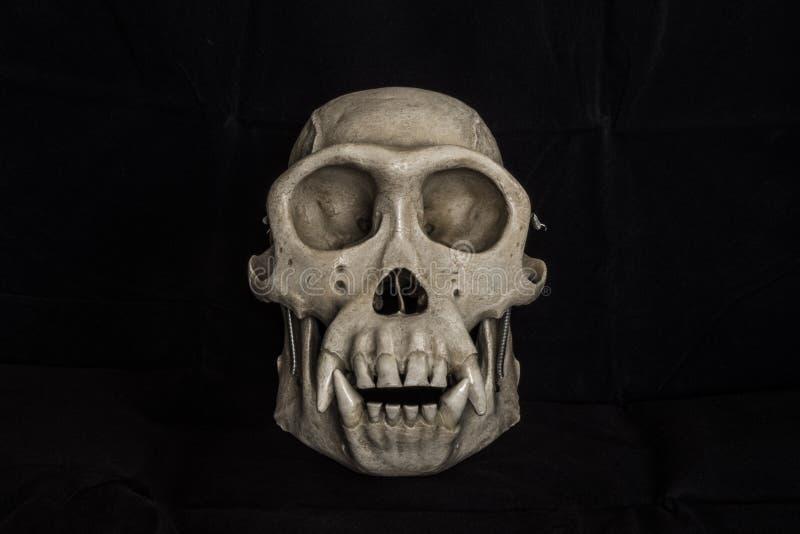 Crâne en plastique de singe avec le fond noir photo stock
