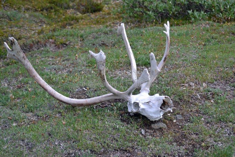 Crâne et andouillers de caribou photos stock