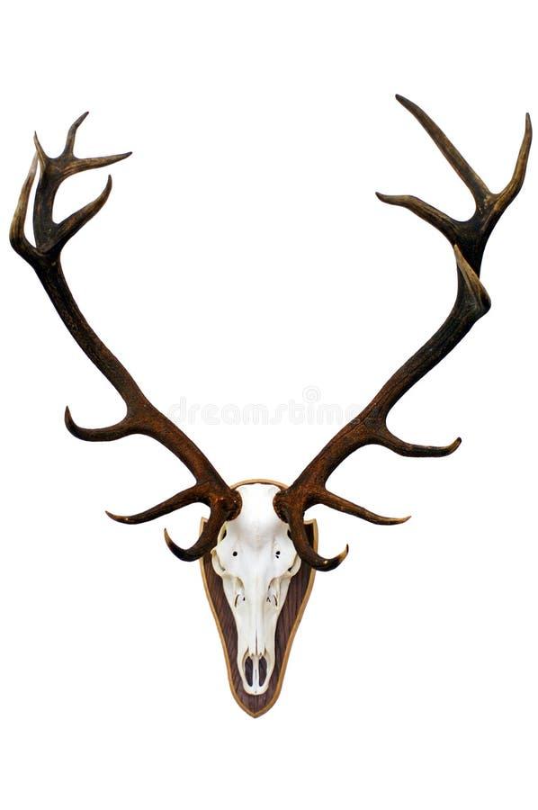 Crâne et andouillers de mâle image stock