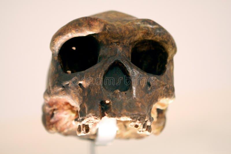 Download Crâne humain photo stock. Image du paris, préhistorique - 87703116