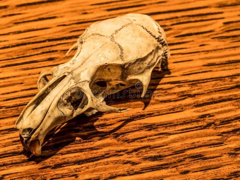 Crâne minuscule de rat images stock