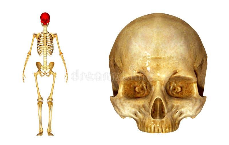 Crâne supérieur images libres de droits