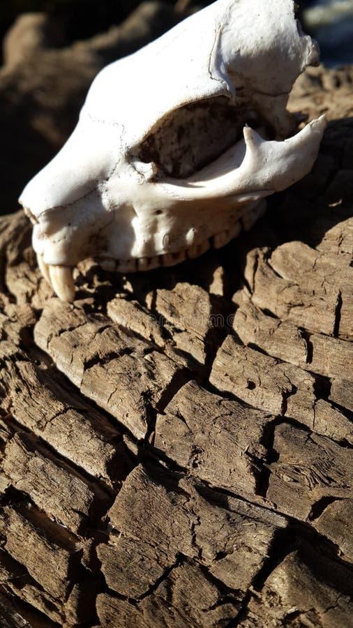 Crâne sur un rondin image stock