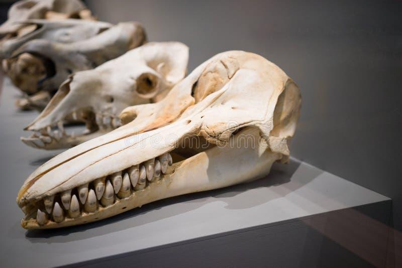 Crânes animaux image libre de droits