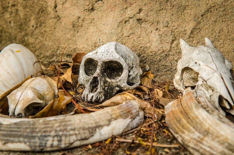 Crânes d'un singe et d'une petite antilope photographie stock libre de droits