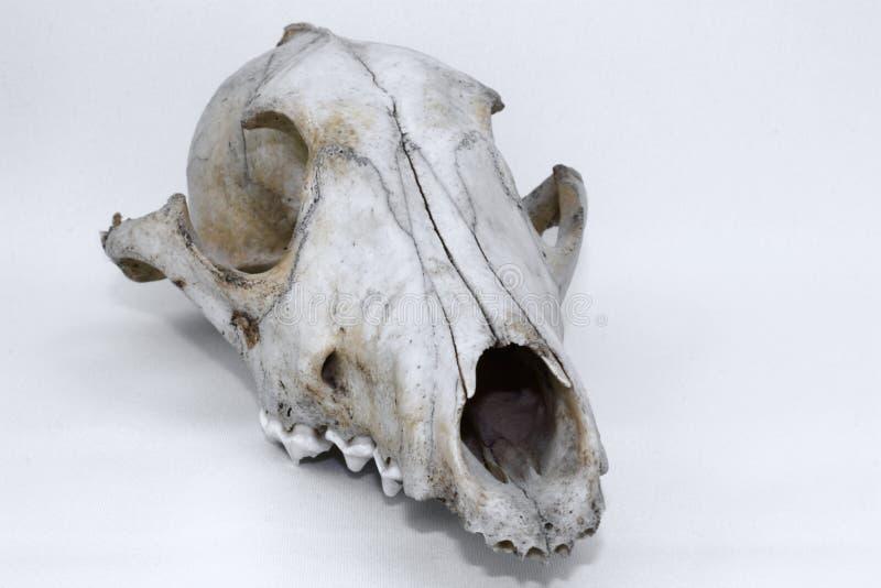 Crânio animal imagem de stock