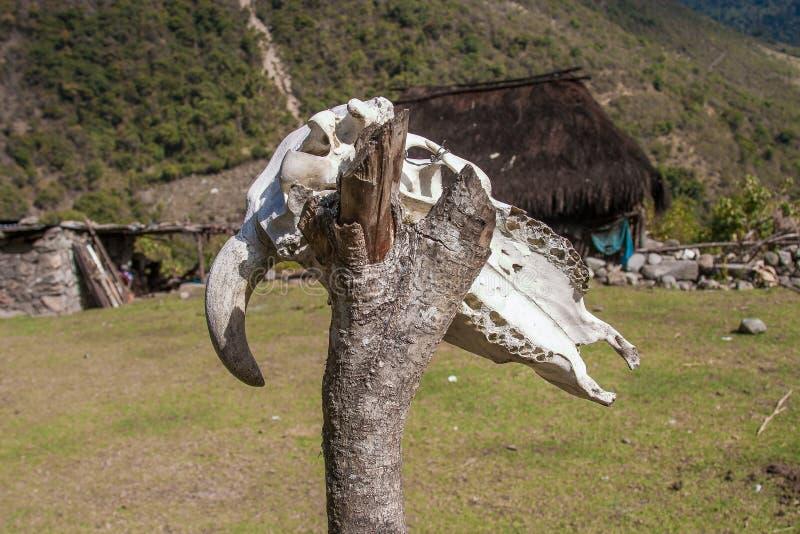 Crânio animal envelhecido fotografia de stock royalty free