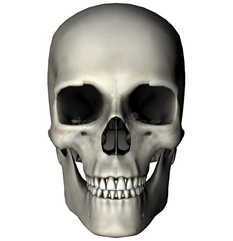 Crânio anterior humano ilustração stock