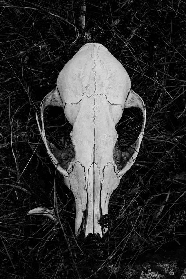 Crânio da raposa cinzenta imagem de stock
