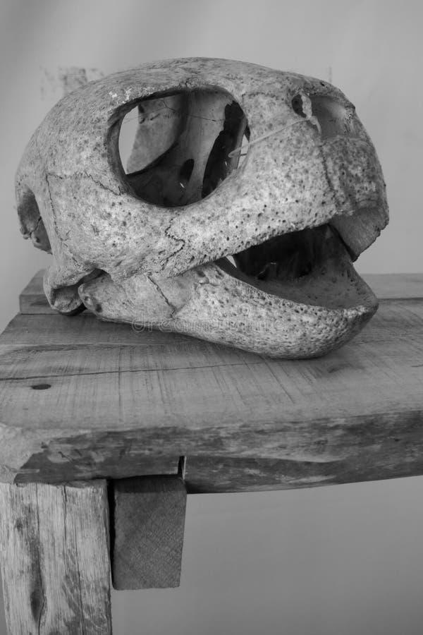 Crânio da tartaruga de mar imagens de stock