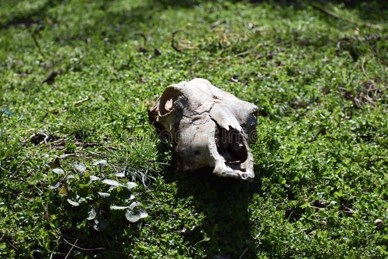 Crânio da vaca imagens de stock