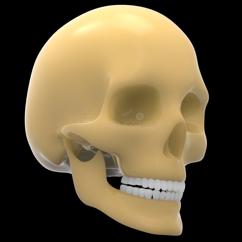 Crânio de esqueleto humano ilustração stock