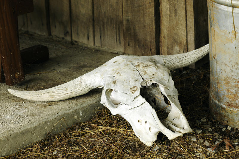 Crânio de Texas Longhorn imagens de stock royalty free