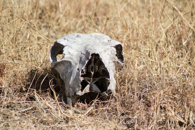 Crânio do animal selvagem imagem de stock