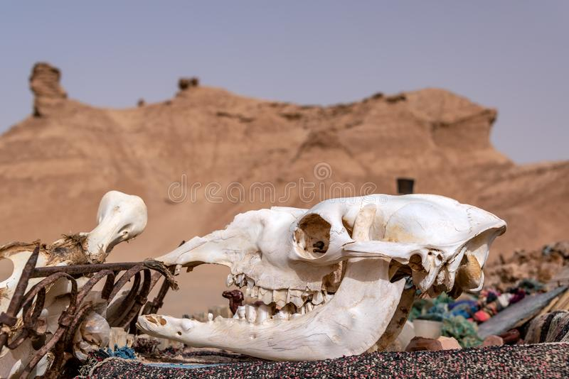 Crânio do camelo em Tunísia foto de stock