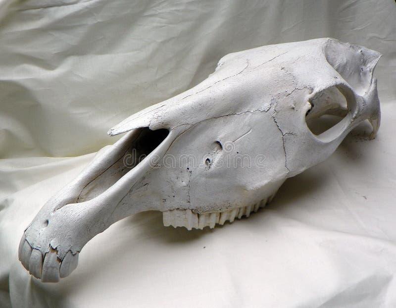Crânio do cavalo foto de stock