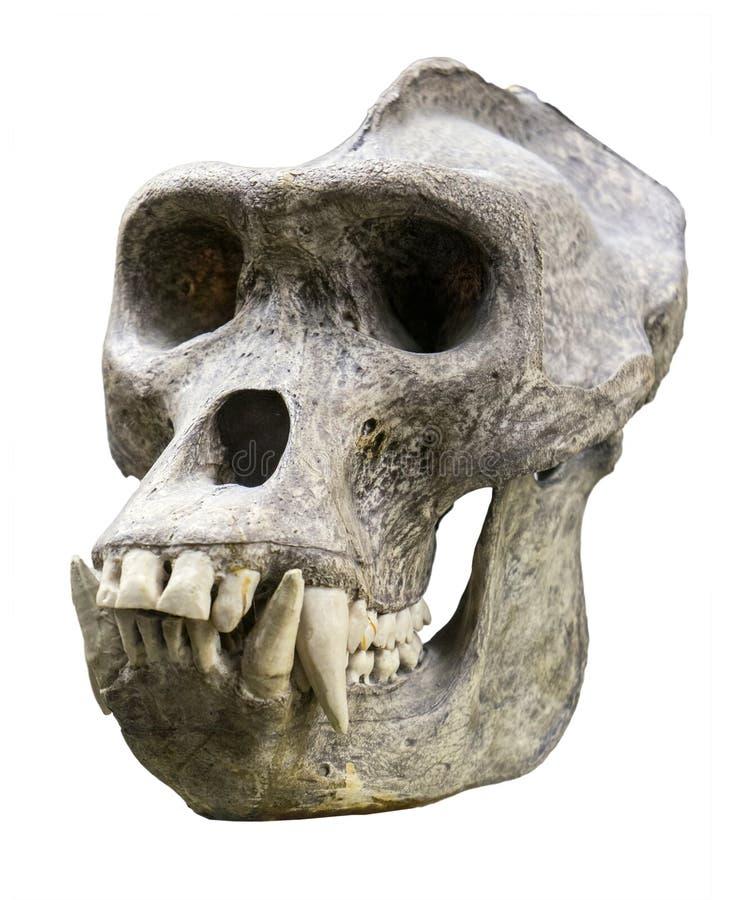 Crânio do gorila fotos de stock