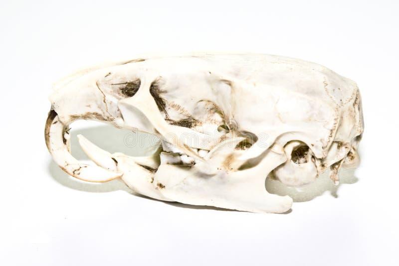 Crânio do rato no fundo branco fotografia de stock royalty free