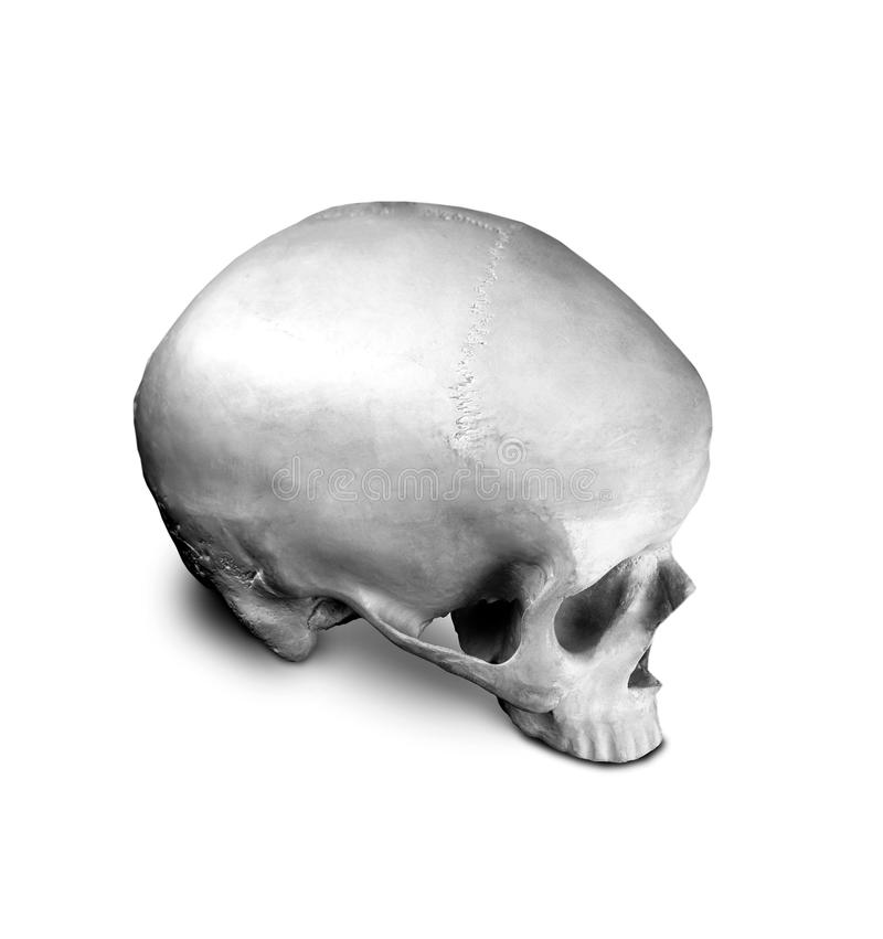 Crânio do sapience do homo isolado fotografia de stock