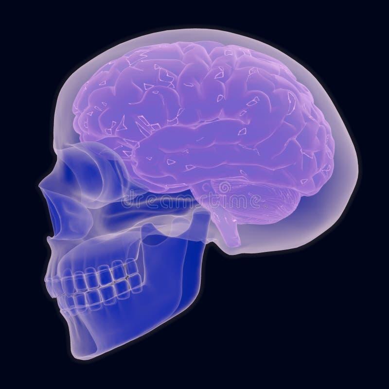Crânio e cérebro humanos ilustração royalty free