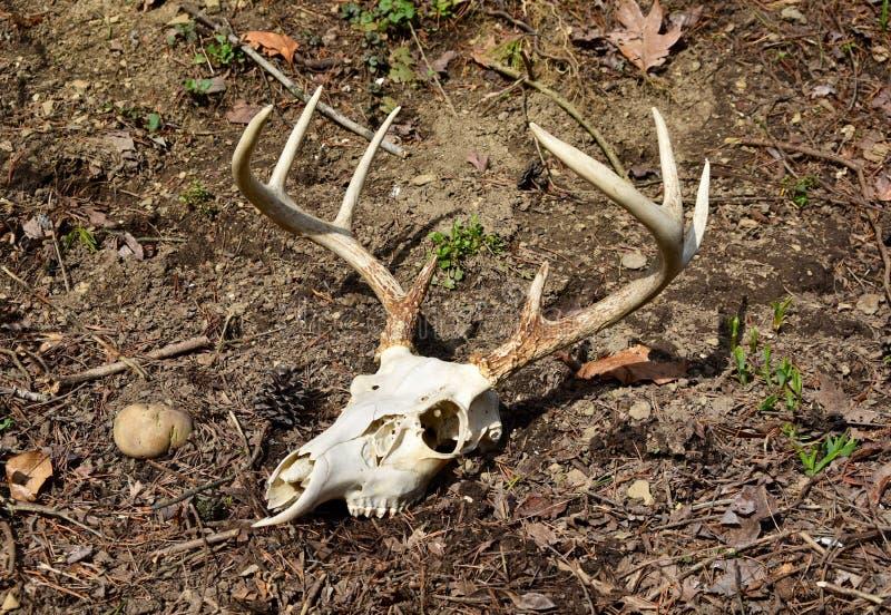 Crânio e chifres de um fanfarrão dos cervos de whitetail em um assoalho da floresta imagens de stock royalty free
