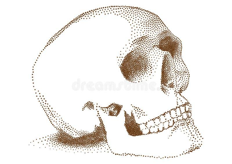 Crânio humano,   ilustração royalty free
