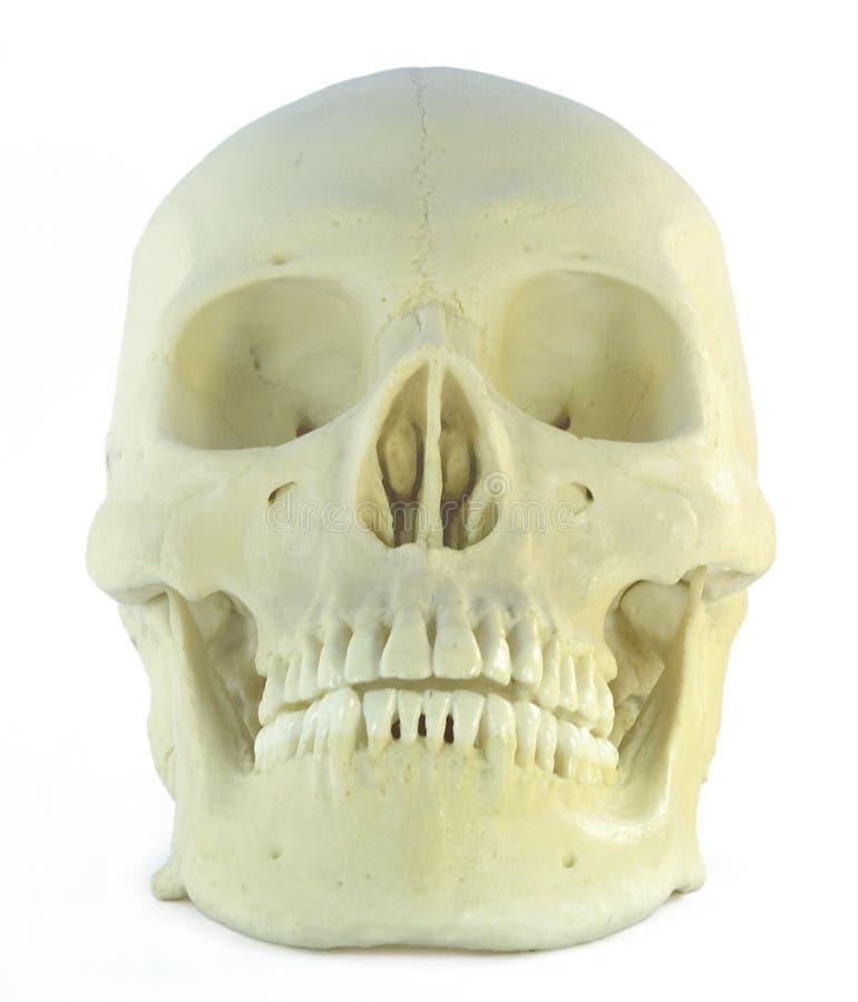 Crânio humano imagem de stock royalty free
