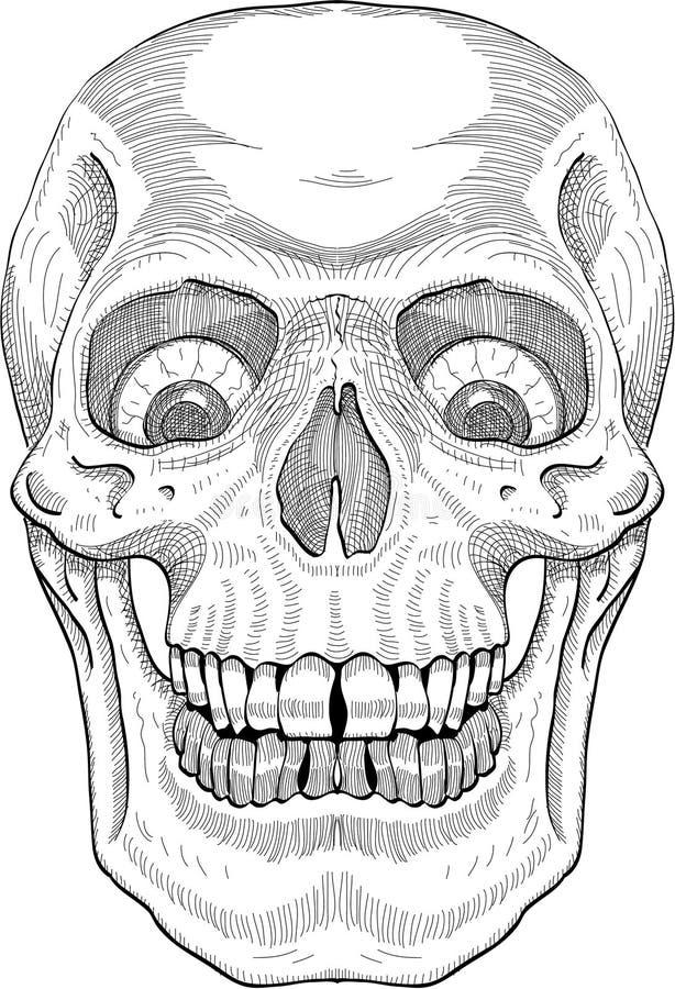 Crânio humano ilustração royalty free