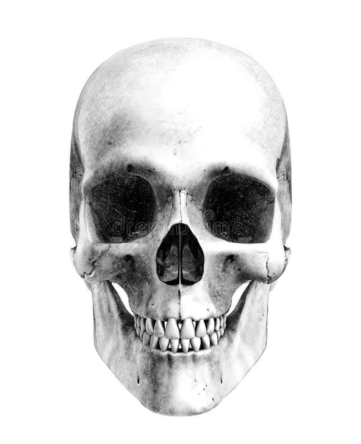 Crânio humano - estilo do desenho de lápis ilustração royalty free
