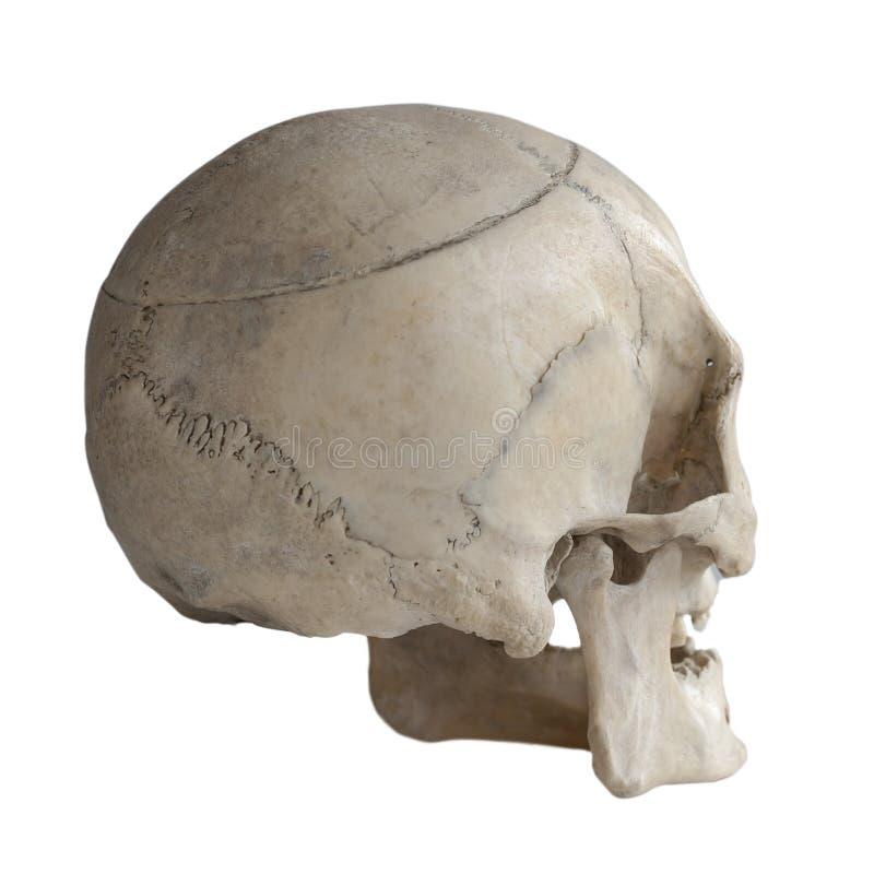 Crânio humano isolado no branco, close-up imagens de stock royalty free