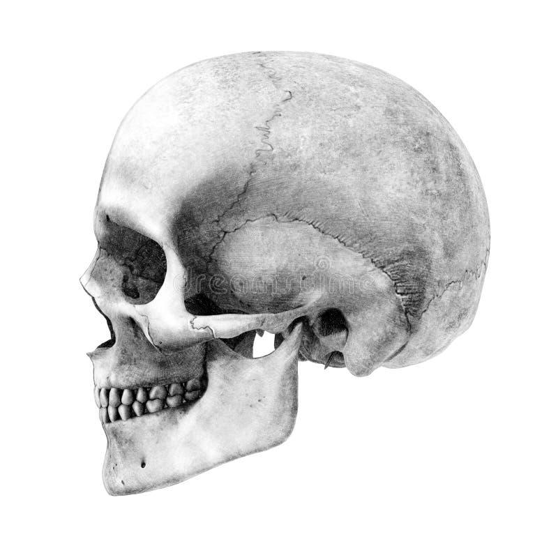 Crânio humano - Lado-Vista - estilo do desenho de lápis ilustração royalty free