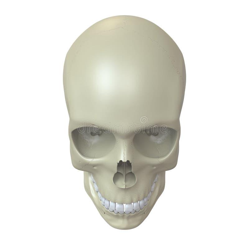 Crânio humano rendido ilustração do vetor