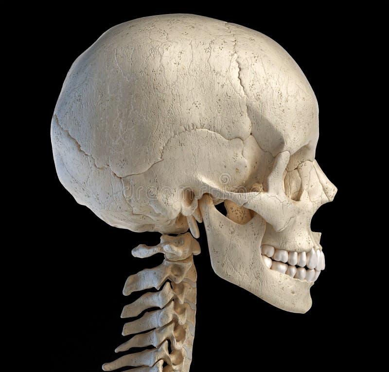 Crânio humano visto de um lado ilustração royalty free