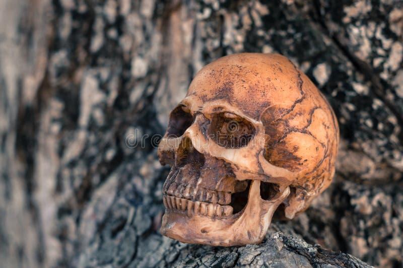 Crânio no fundo de madeira fotos de stock royalty free
